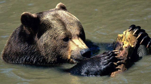 Медведь ухватился за корягу