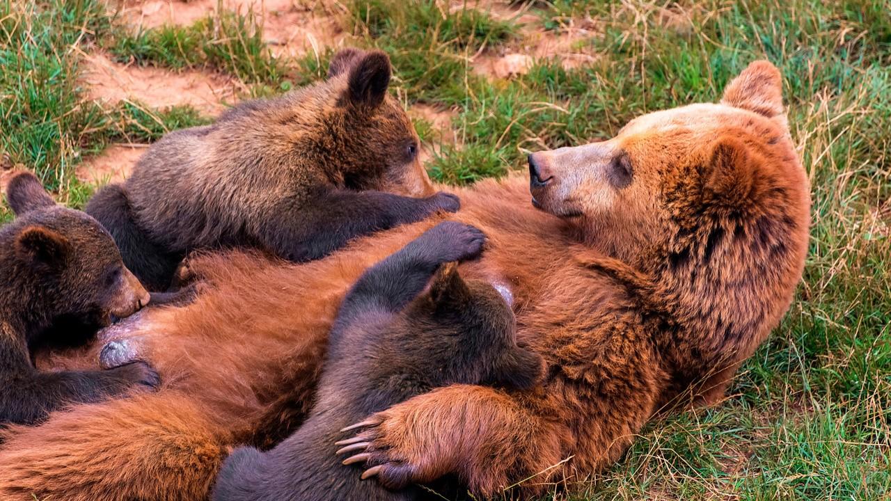 Медведица кормит медвежат