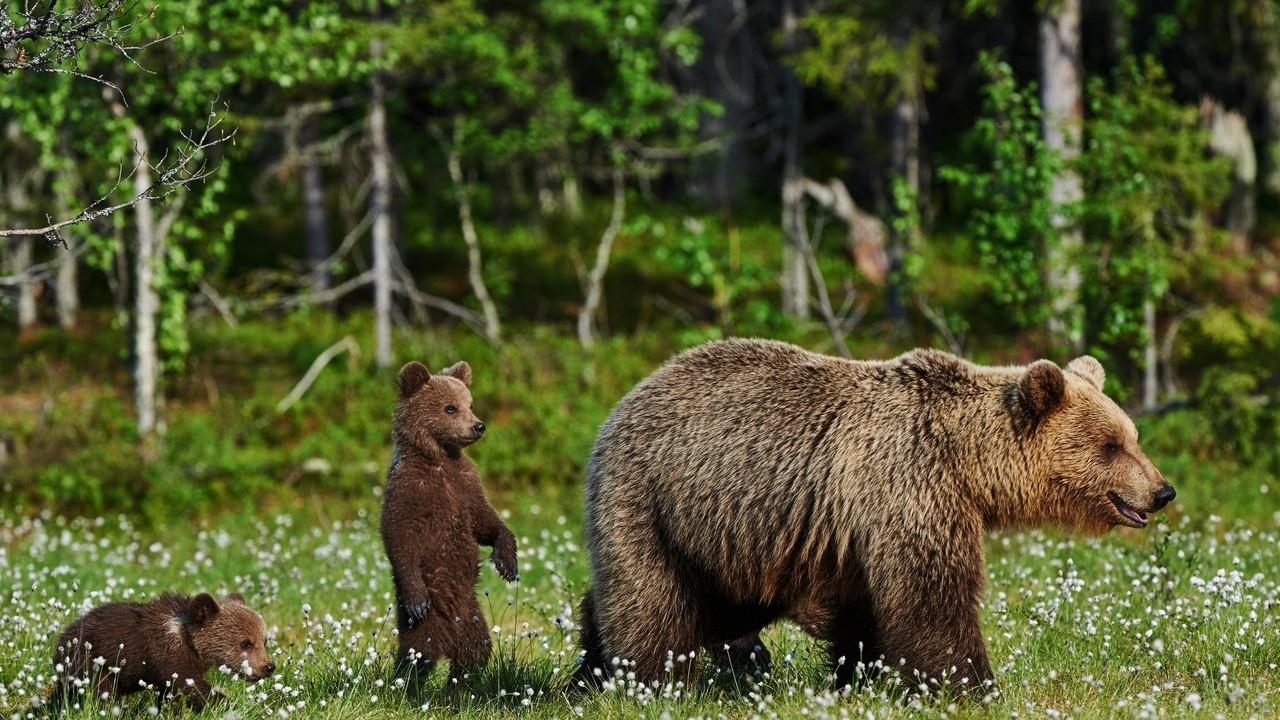 Медвежата идут за мамой