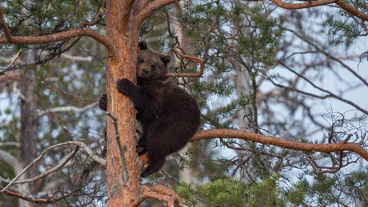 Медвежонок сидит на ветке