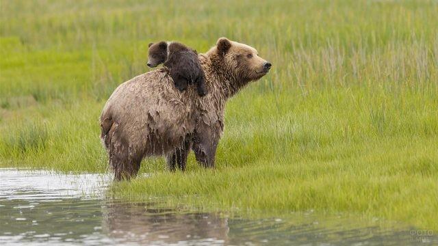 Мокрая медведица несёт на спине медвежонка