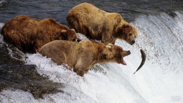 Охота медведей за рыбой