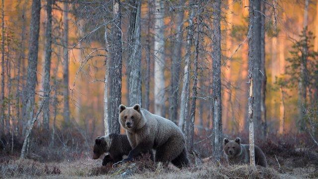 Три медведя идут по лесу