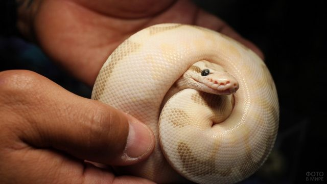 Питон альбинос в руках человека
