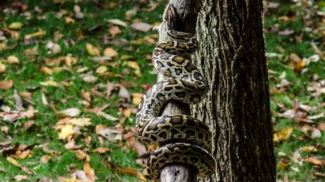 Питон ползёт вверх по дереву