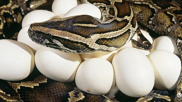 Питон высиживает яйца