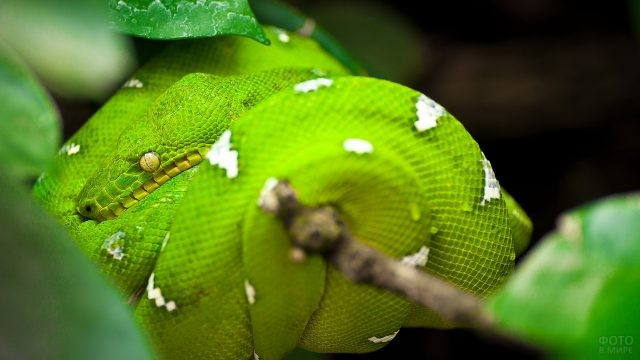 Питон зелёного цвета обвил ветку