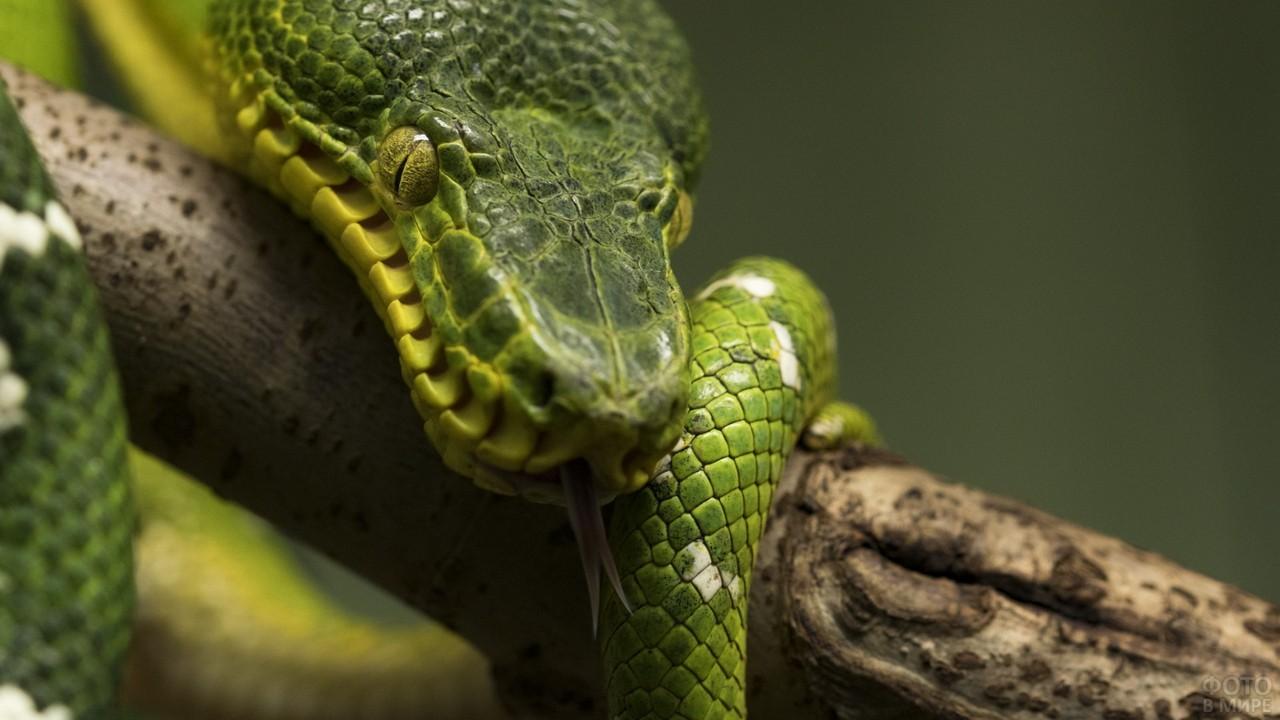 Питон зелёного цвета