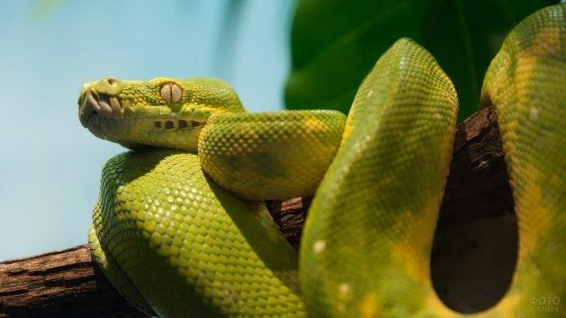 Зелёно-жёлтый питон на ветке