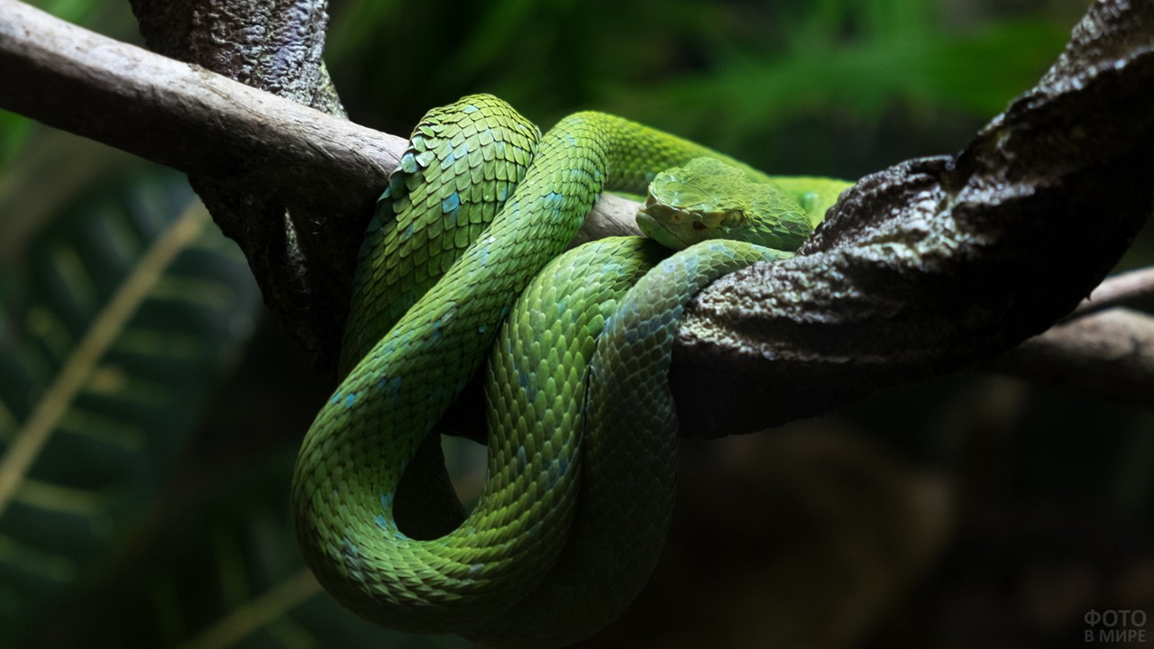 Зелёный чешуйчатый питон