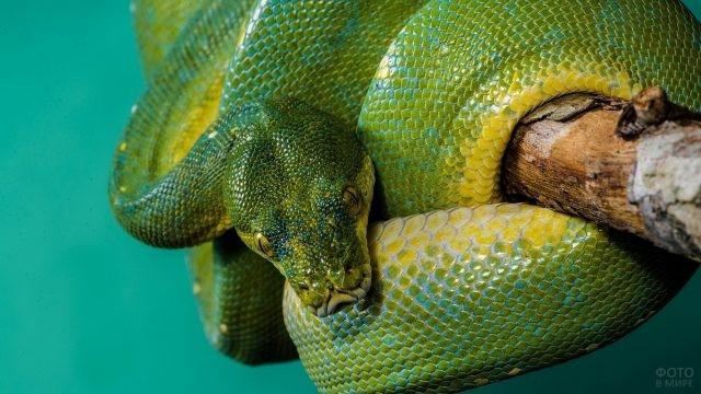 Зелёный питон на бирюзовом фоне
