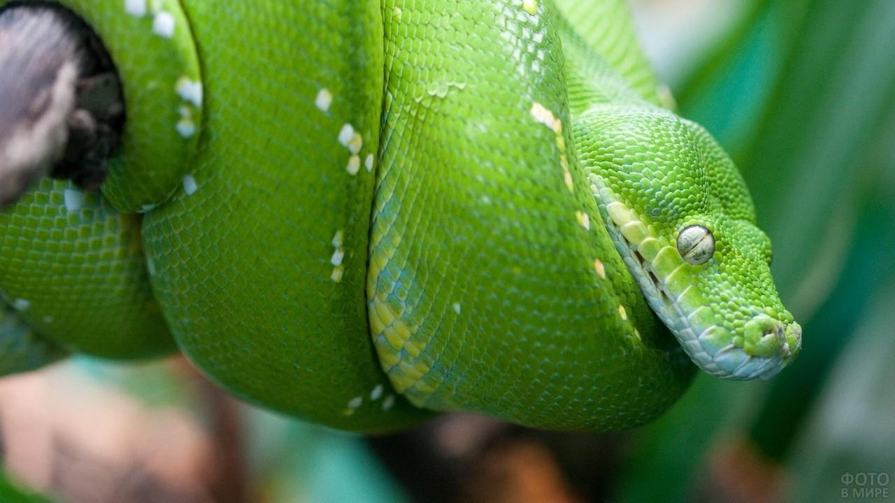 Зелёный питон просунул голову через своё тело
