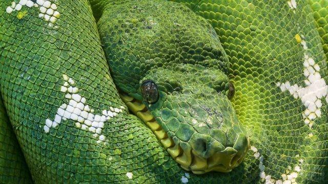 Зелёный питон с белыми пятнами