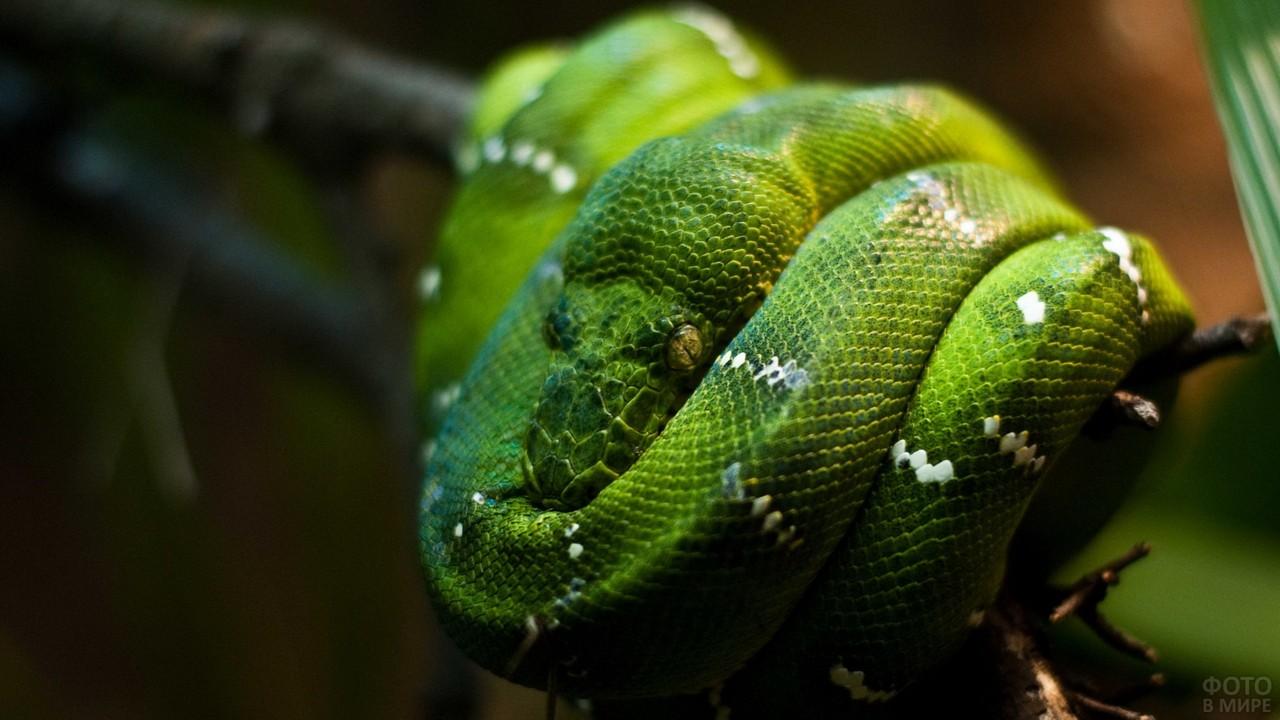 Зелёный питон с поперечными пятнами