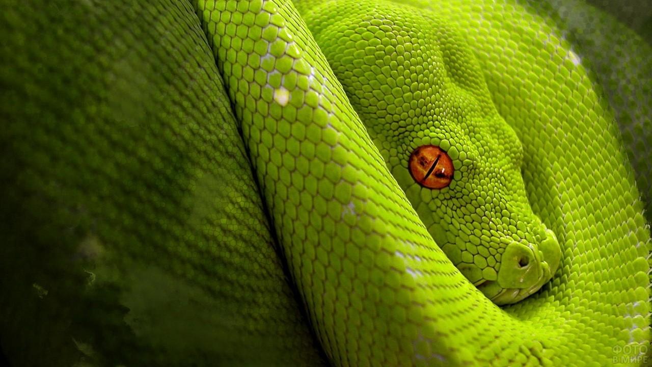 Зелёный питон с рыжими глазами