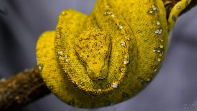 Жёлтый питон с белыми пятнышками