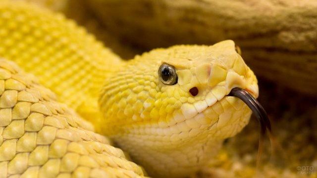 Жёлтый питон высунул язык