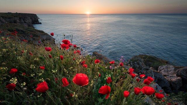 Маки на скалистом берегу Болгарии