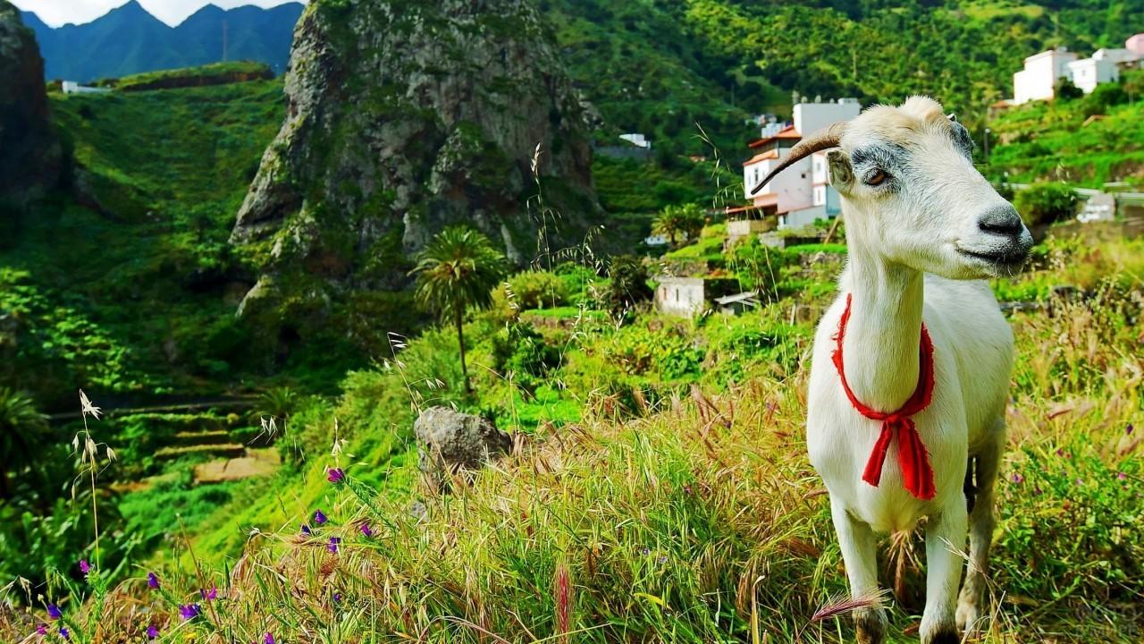 Коза на склоне горы