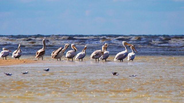 Пеликаны в Аграханском государственном природном заказнике