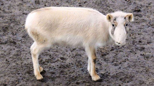 Белый сайгак стоит на земле