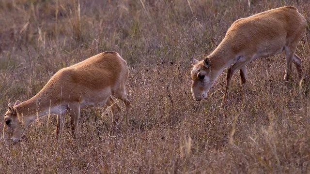Два сайгака гуляют по степи