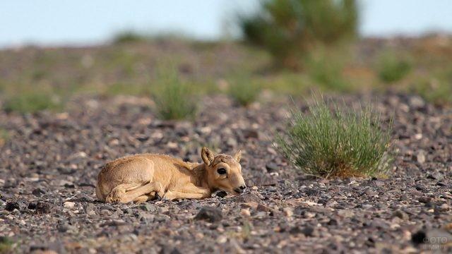 Маленький сайгак лежит на земле