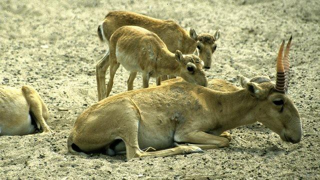 Мама сайгак лежит с детёнышами