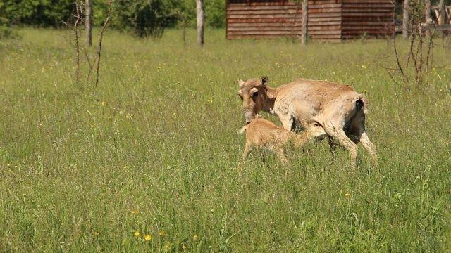 Мама сайгак с малышом около дома