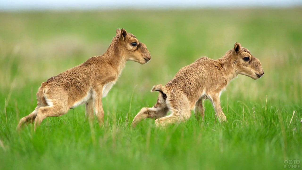 Сайгачата прыгают по траве