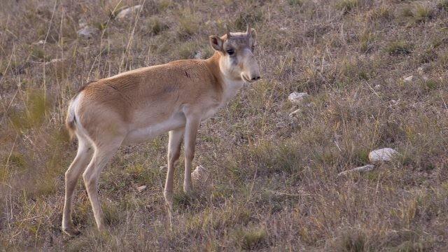 Сайгачонок с маленькими рожками стоит среди степи