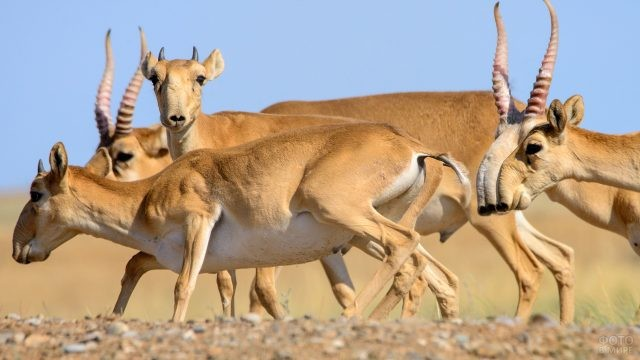 Сайгаки гуляют в заповеднике