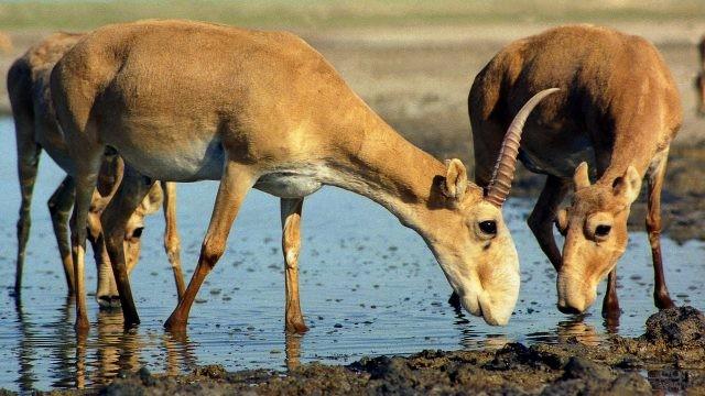 Сайгаки на мелководье пьют воду