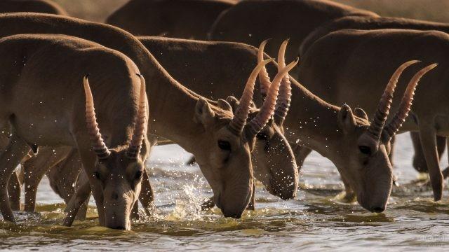 Стадо сайгаков пьёт воду