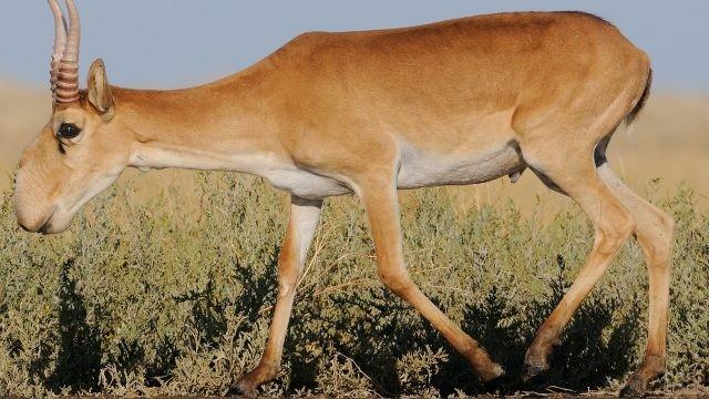 Степная антилопа идёт по степи