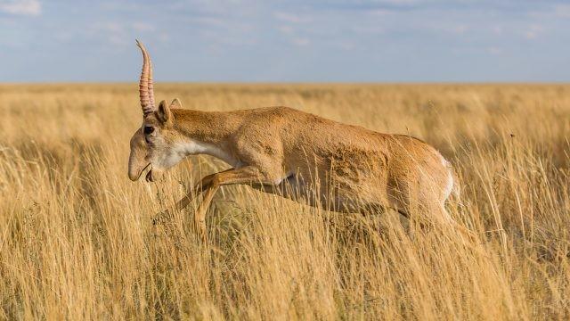 Степная антилопа в прыжке