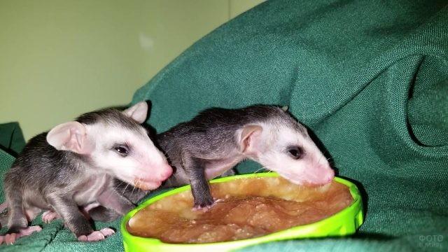 Новорожденные опоссумы едят корм