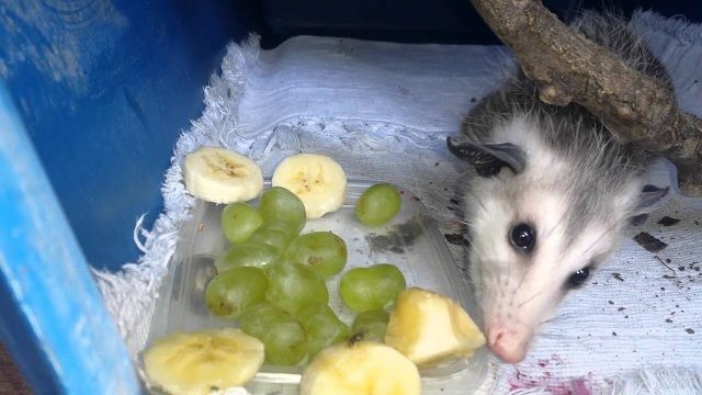 Опоссум ест виноград и банан
