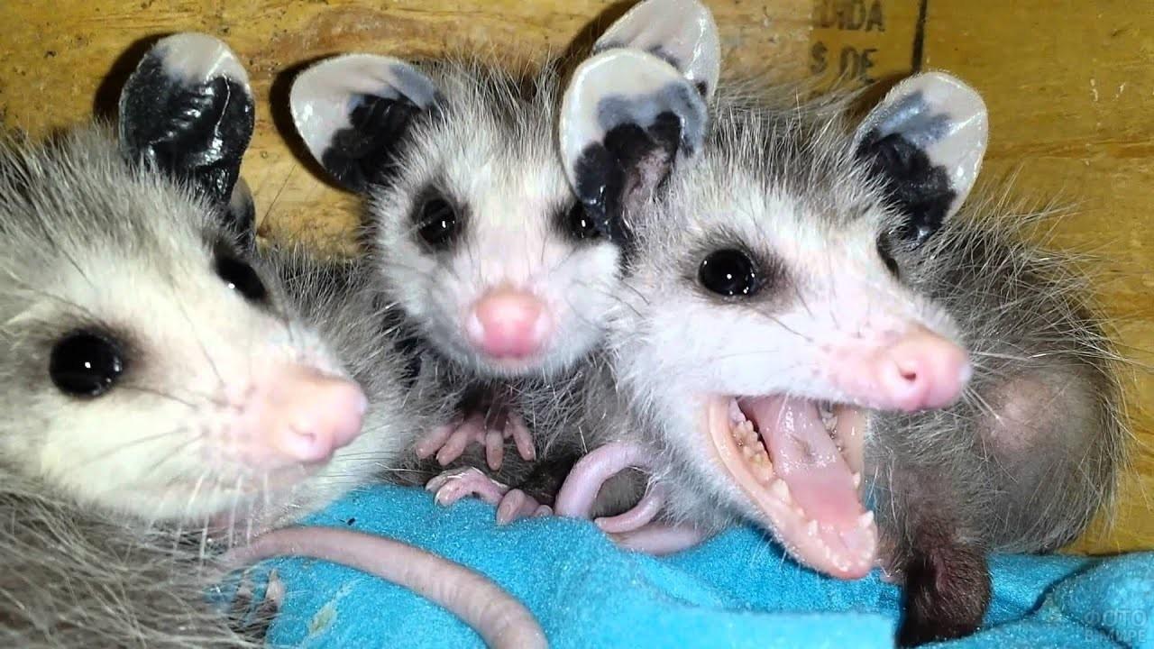Три малыша - опоссума смотрят на камеру