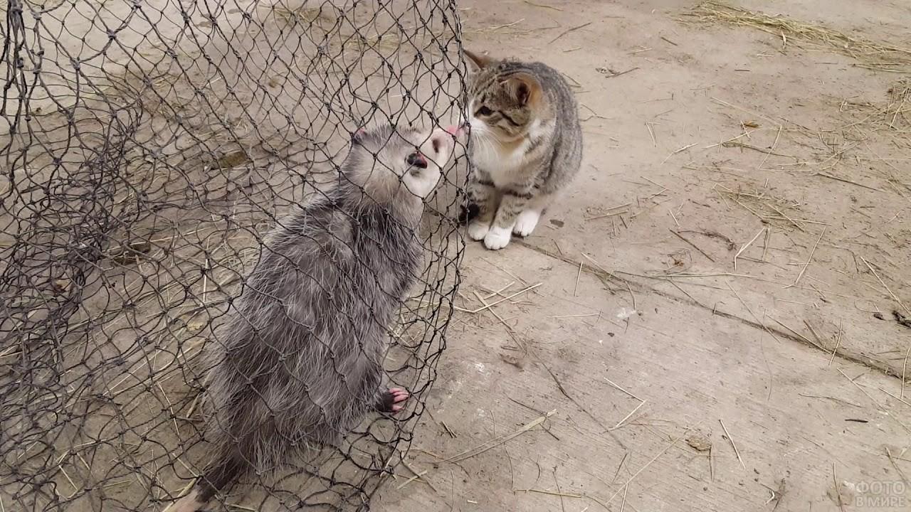 Встреча опоссума с кошкой