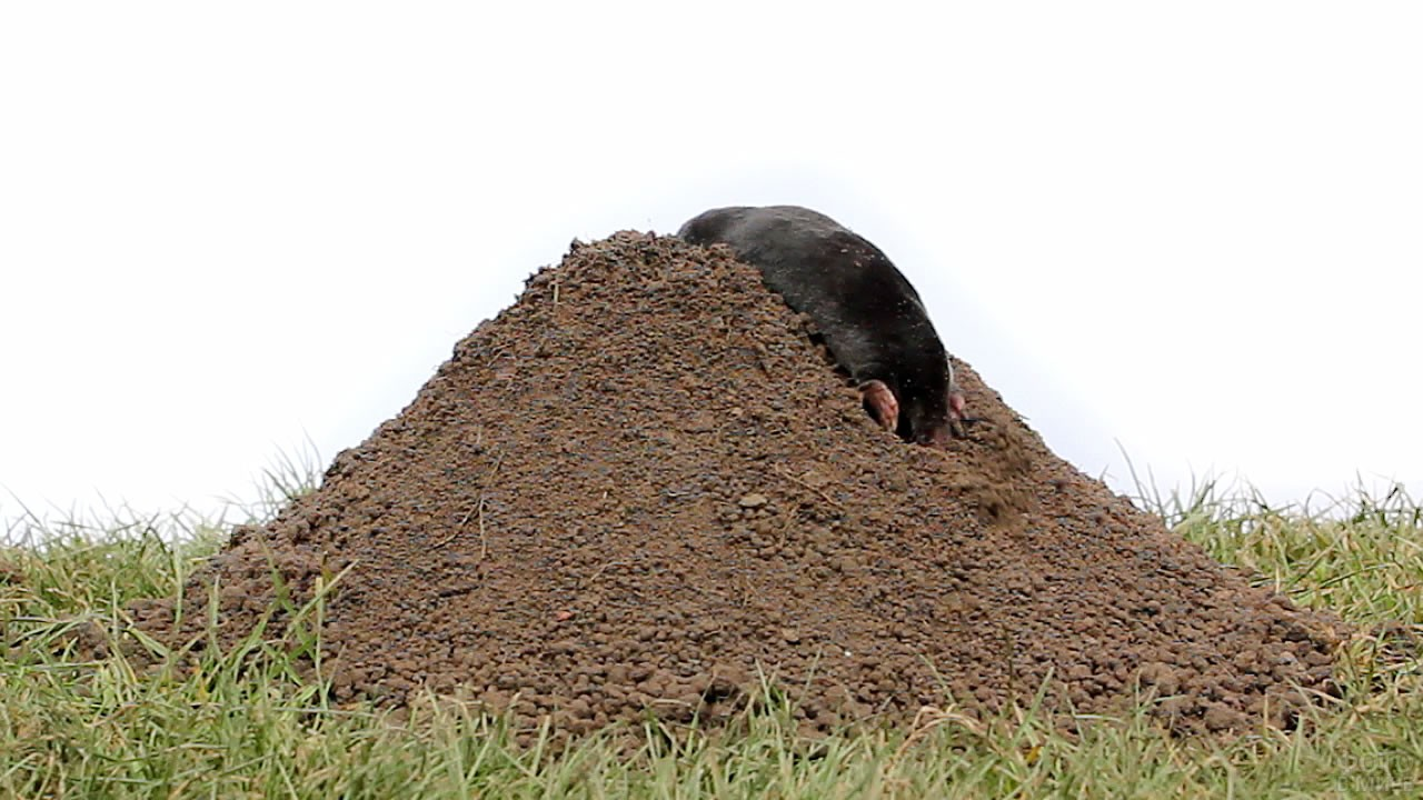 Чёрный крот залезает на большой холм