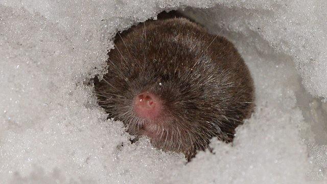 Крот зимой вылез из норки