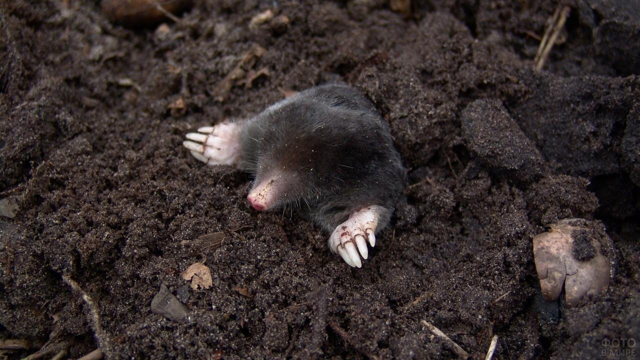 Маленький крот на свежевспаханной земле