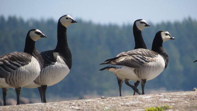 Белощёкие канадские гуси