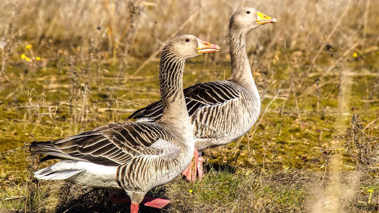 Два гуся в осеннем поле