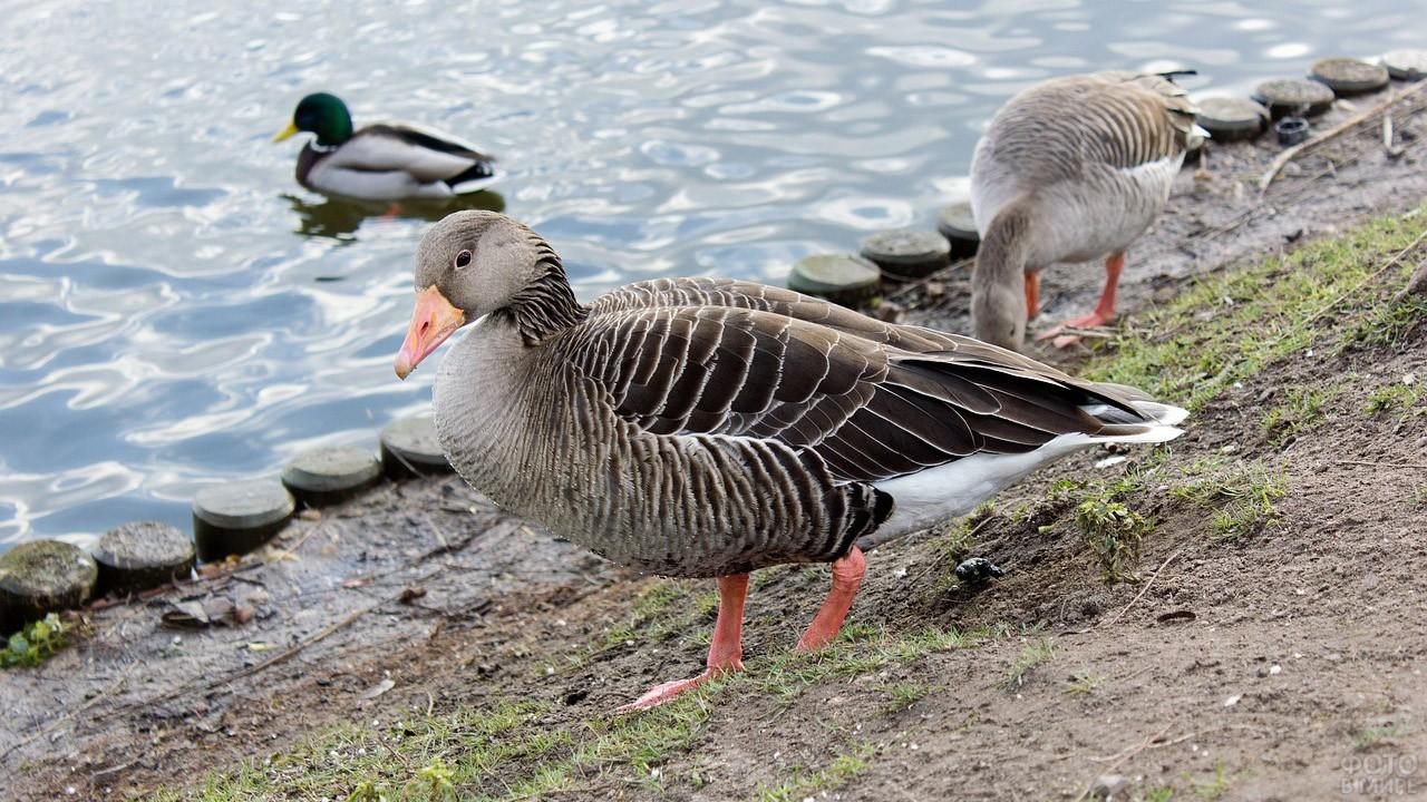 Гуси у пруда в парке