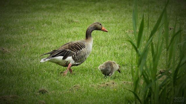 Гусыня с птенцом в летнем поле