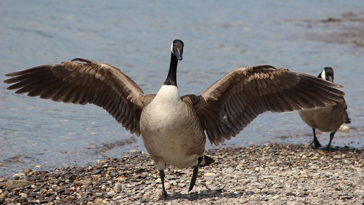 Красивый канадский гусь с распахнутыми крыльями