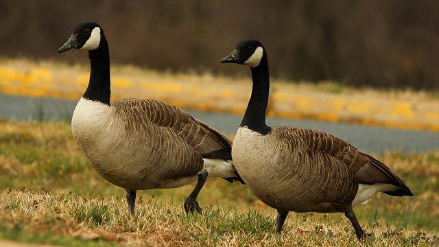 Пара канадских гусей