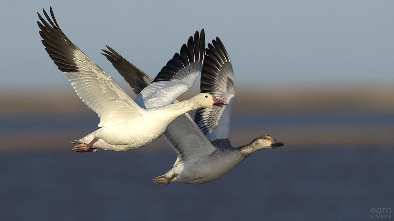 Пара летящих гусей
